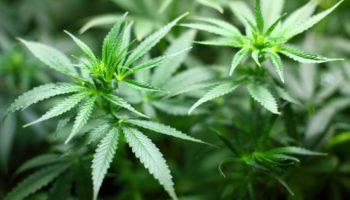Medizinisches_Cannabis